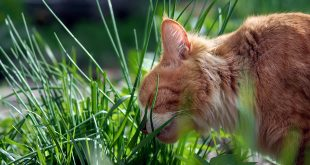 Zakaj mačke jedo travo