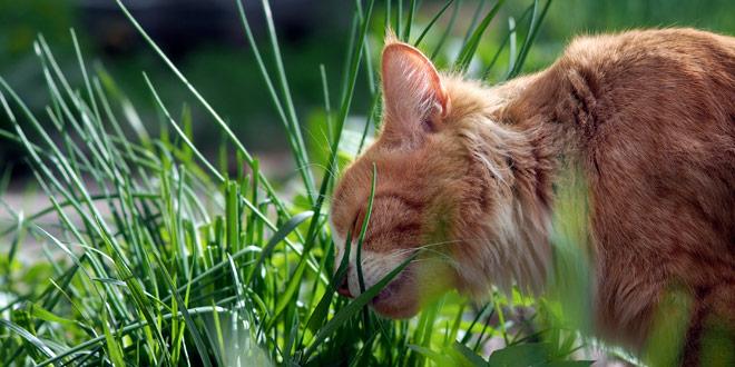 Zakaj mačke jedo travo?